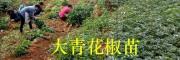 云南青花椒苗品种-大青花椒苗栽培技术/15125473767