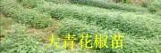 昭通青花椒批发商:彝良大青花椒(花椒苗)销售