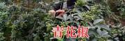 云南青花椒产地在哪?_昭通彝良大青花椒种植合作社