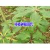 贵州重楼种植基地-087164155848 毕节重楼销售