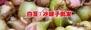 野生冰球子价格/贵州冰球子(山慈菇)&白芨基地
