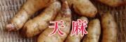 贵州天麻种植产地、毕节大方天麻出售&魔芋批发