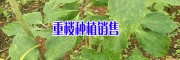 毕节重楼成品—贵州重楼价格信息18685348855