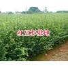 人工栽培红豆杉苗#昆明雪松1.5-2米13108769973