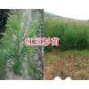 昆明雪松2年生苗-13312511798南方红豆杉苗销售