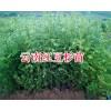 红豆杉30-70公分种苗出售-昆明红豆杉大苗_云南红豆杉苗
