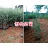 雪松苗规格价格信息-13108769973昆明红豆杉小苗批发