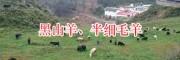 凉山黑山羊一只多少钱/昭觉肉羊一只销售&黑山羊幼仔