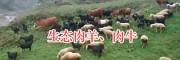 昭觉肉羊肉牛养殖—凉山半细毛羊肉、黑山羊肉销售