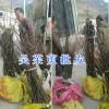 丽江吴茱萸苗繁育基地:买茱萸苗提供种植技术