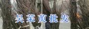 丽江吴茱萸种苗基地:购买茱萸苗提供种植技术
