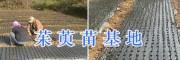 茱萸苗基地在哪-丽江高产吴茱萸苗*15368086541