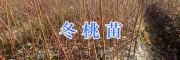 大理冬桃合作社桃树苗&哪里冬桃苗好/宾川冬桃