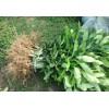 绿化树苗,繁育基地供苗中心咨询订苗热线087164155848