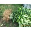 大理宾川绿化苗木、果苗基地苗木销售