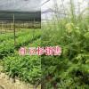 产地保山红豆杉袋苗,规格齐全-仿野生种植