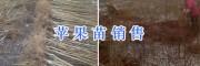 云南苹果树/昭通苹果树批发价格-13887043679