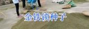 金铁锁种子筛选视频#昆明金铁锁种子价格_云南金铁锁种供应