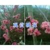 盆景桃花能开多久-大理盆景桃花树型_云南桃花盆景图