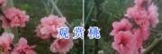 观赏桃花树品种-大理桃花盆景研究基地