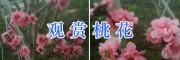 云南嫁接观赏桃花—大理观赏桃花图片_桃花盆景销售