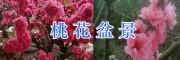 云南哪桃花盆景好:大理观赏桃花盆景批发13988528854