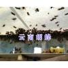 胡蜂养殖要多少钱、宣威胡蜂蜂王养殖技术_云南胡蜂特种养殖