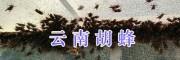 胡蜂蜂王怎么养?#15912036008云南胡蜂养殖技术公开