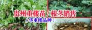 |贵州重楼种植公司|重楼种子种苗◆独脚莲种子种苗 |