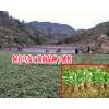 贵州何首乌苗供应|贵州鸡姜形黄精|贵州吴茱萸|18216536586