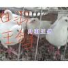 泰深王鸽-昆明白羽王鸽&银羽王鸽出售_云南肉鸽供应信息