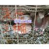 昆明肉鸽养殖销售:肉鸽蛋、种肉鸽批发