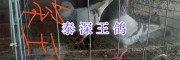云南肉鸽种蛋销售-昆明种肉鸽/泰深王鸽出售