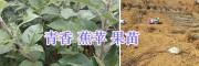 云南青香蕉苹果苗-15125404188昭通华硕苹果苗批发