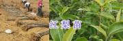 昭通昭阳区红梨苗、车厘子苗,春季果树苗销售