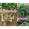黄精多花不倒苗-贵州黄精种苗出售/姜形甜品种黄精苗