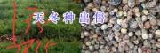 丽江天门冬种子出芽处理技术/永胜新鲜天冬种子