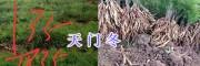 云南丽江大天冬低价销售-永胜天门冬散货基地
