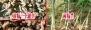 姜形鸡头黄精:贵州优质黄精种茎批发/黄精不倒苗