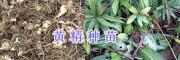 滇黄精怎么种植#滇黄精苗多少钱—普洱黄精生产商