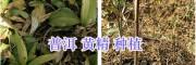 黄精用种子播种好吗-滇黄精块茎种植方式
