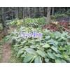文山草果苗1-3年生草果苗,地袋苗草果种子