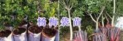 杨梅苗销售-云南禄丰杨梅袋装苗#杨梅地苗供应