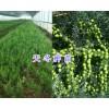 新鲜天门冬种子价格-大理天门冬种子销售&天冬成品