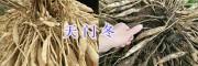 云南天冬种苗种植基地-天冬种子供应/大理天门冬
