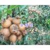 刺梨批发商-产地供应/黔西南贵龙刺梨、金刺梨