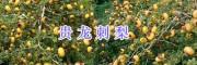 贵龙刺梨价格-/黔西南贵龙刺梨种植基地
