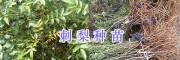 刺梨树苗批发商-贵州刺梨苗供应#刺梨苗一棵多少钱