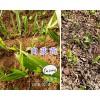 2年白芨驯化苗&白芨种茎-玉溪白芨苗销售