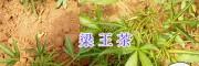 购买梁王茶苗#梁王茶种植管理/梁王茶图片